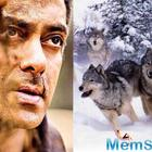 Salman Khan will fight a pack of wolves for an action sequence in 'Tiger Zinda Hai'