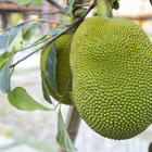 Benefits of Jackfruit - the Vegetarian Alternative to Meat!