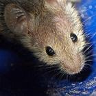 How to Get Rid of Rodents in Your House???