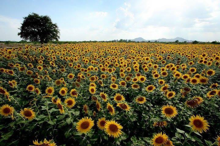 Beautiful Sunflower Fields Still At Karnataka