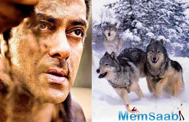 The scene that will presumably be shot in the snow-clad mountains of Austria, will see Salman take on a pack of tamed wolves.